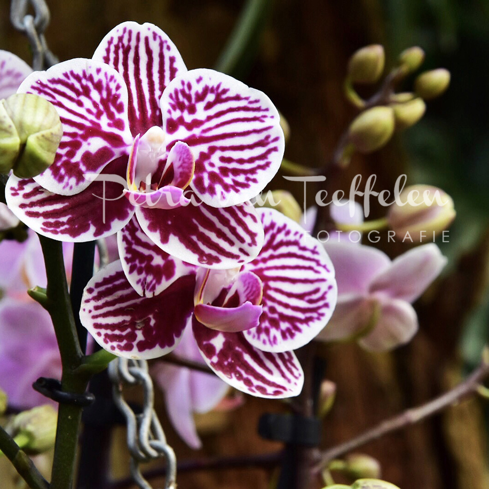 Orchidee 1a